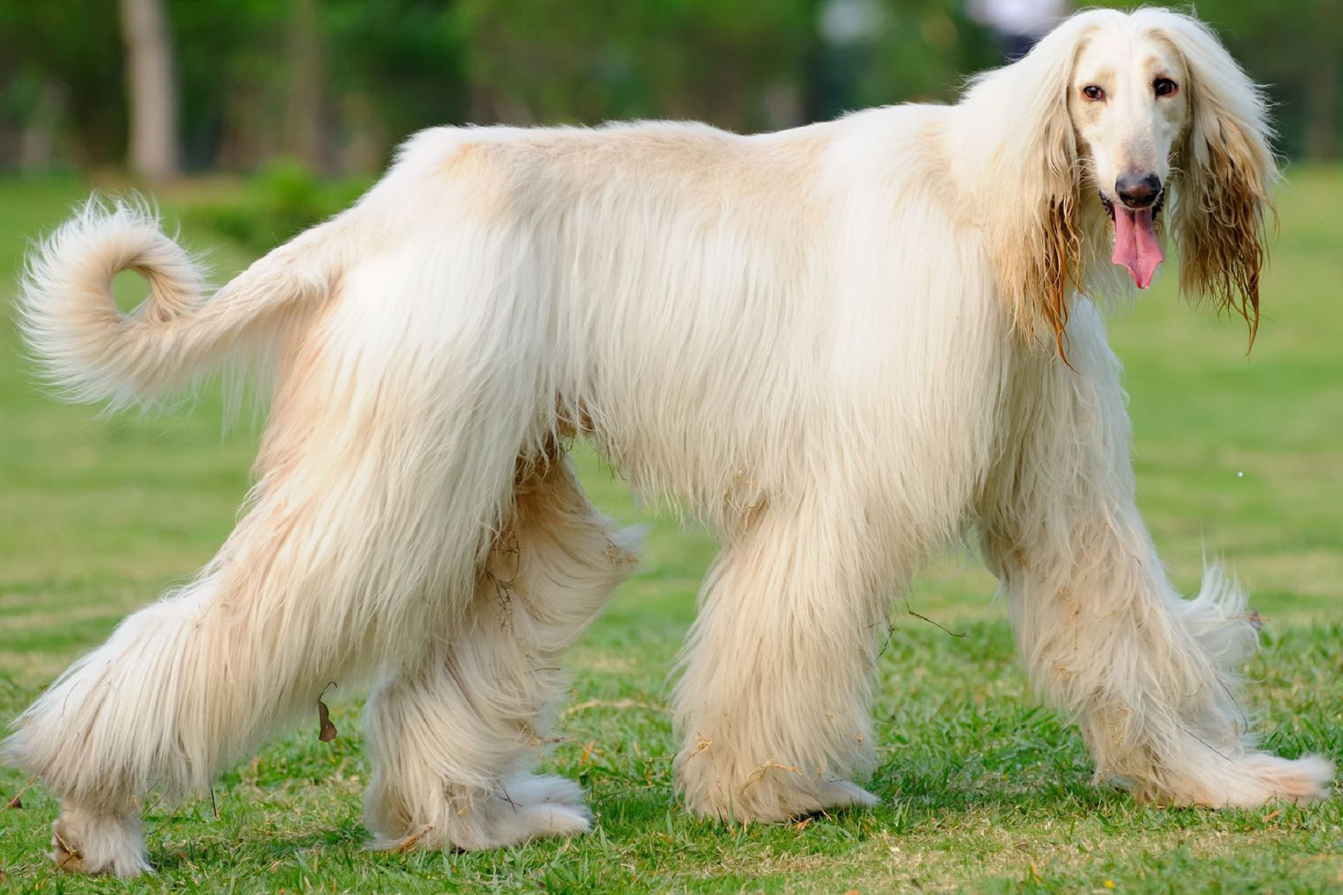 afghan hound wallpapers backgrounds