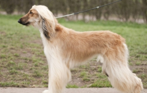 Afghan Hound Wallpaper