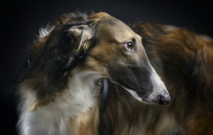 Afghan Hound Widescreen