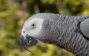 African Grey Parrot High Definition Wallpapers
