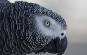 African Grey Parrot High Quality Wallpapers