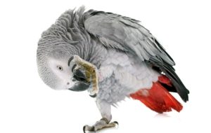 African Grey Parrot Images