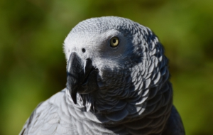 African Grey Parrot Pictures