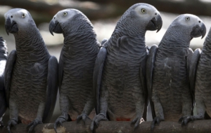 African Grey Parrot Wallpapers