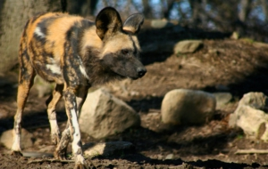 African Wild Dog Computer Wallpaper