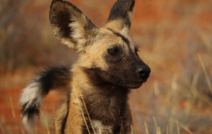 African Wild Dog HD Background