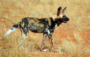 African Wild Dog HD Desktop