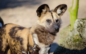 African Wild Dog HD Wallpaper