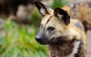 African Wild Dog High Definition Wallpapers
