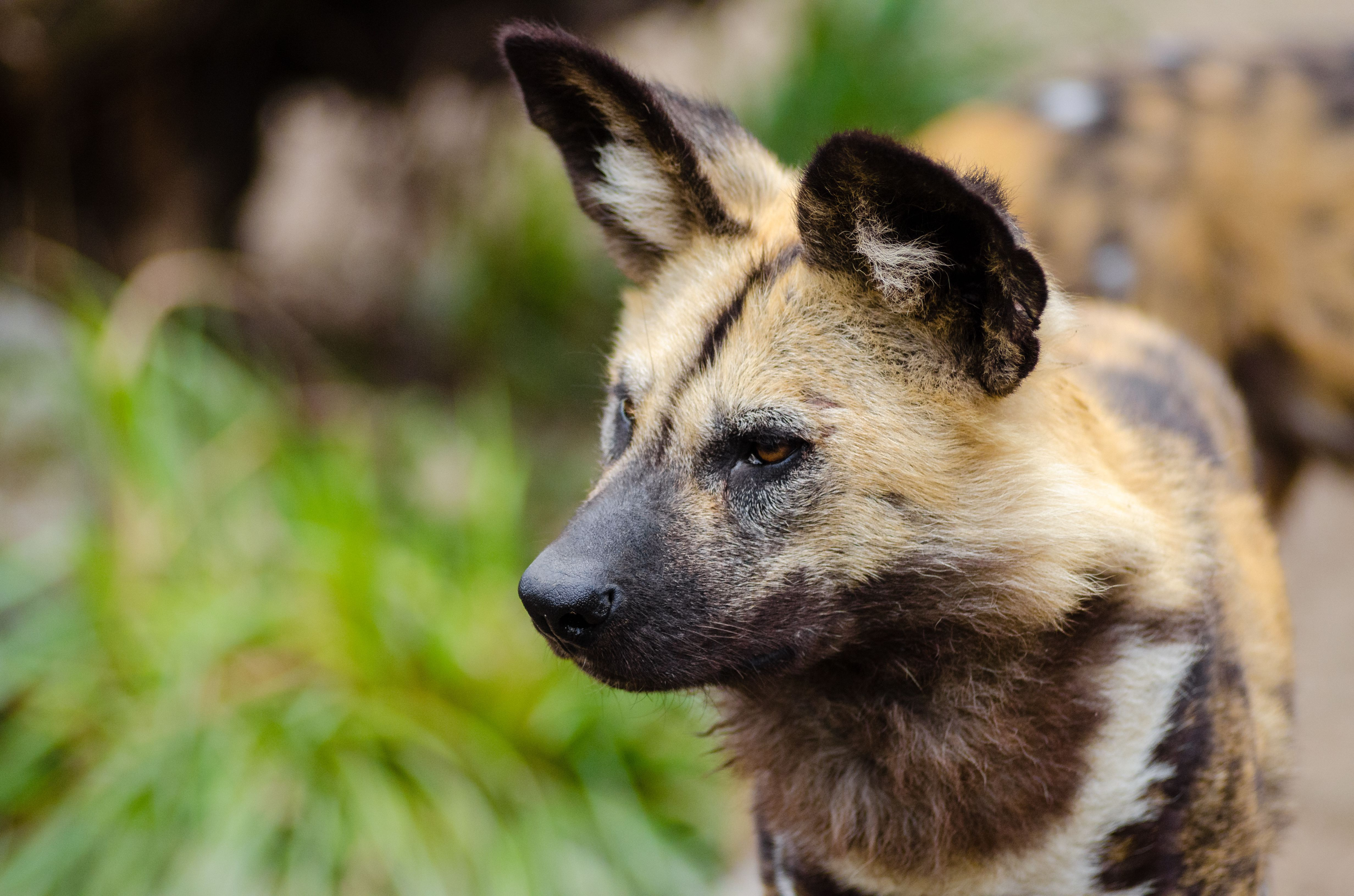 African Wild Dog Wallpapers Backgrounds