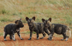 African Wild Dog Pictures