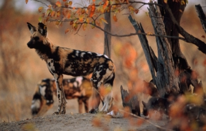African Wild Dog Widescreen