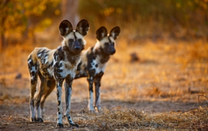 African Wild Dog For Desktop