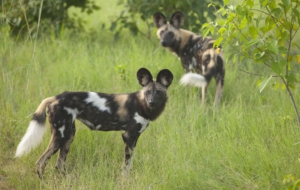 African Wild Dog Full HD