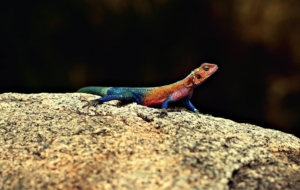 Agama Images