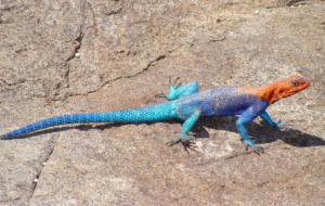 Agama Photos
