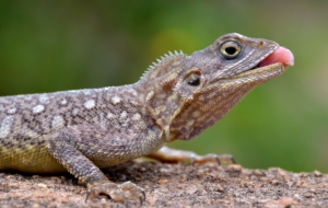 Agama Pictures