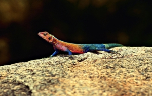 Agama Wallpapers HD
