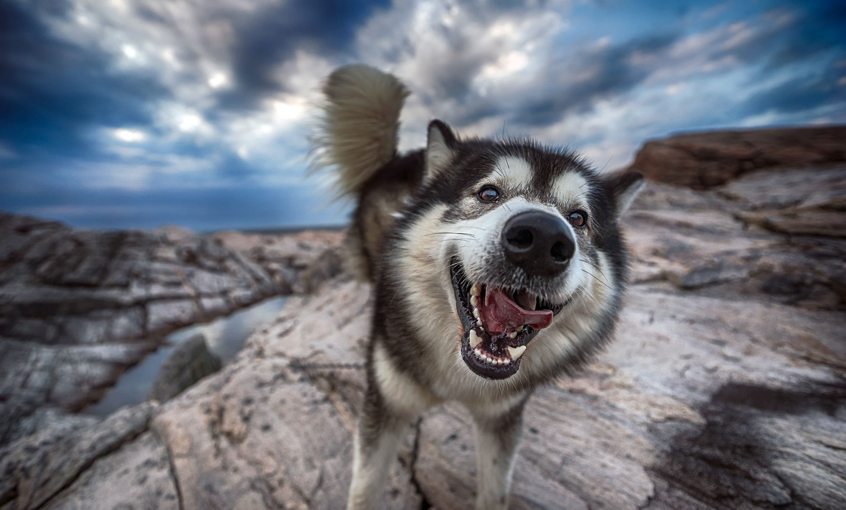 Alaskan Malamute Wallpapers Backgrounds