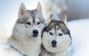 Alaskan Malamute High Definition Wallpapers