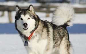 Alaskan Malamute Wallpapers