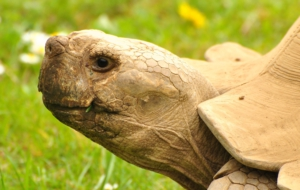 Aldabra Giant Tortoise Background