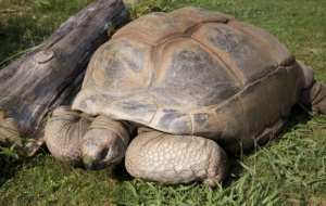 Aldabra Giant Tortoise HD Background
