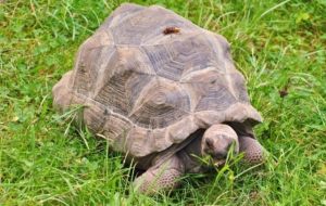 Aldabra Giant Tortoise HD Desktop