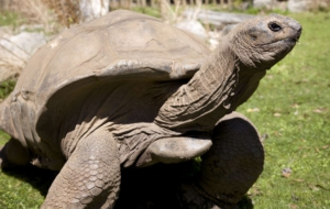 Aldabra Giant Tortoise HD Wallpaper