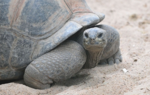 Aldabra Giant Tortoise High Definition