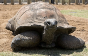 Aldabra Giant Tortoise High Quality Wallpapers