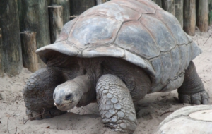 Aldabra Giant Tortoise Photos