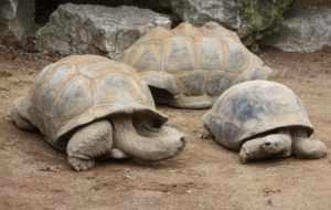 Aldabra Giant Tortoise Wallpaper
