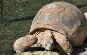 Aldabra Giant Tortoise Wallpapers
