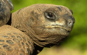Aldabra Giant Tortoise Wallpapers HQ