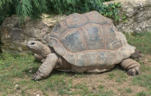 Aldabra Giant Tortoise Widescreen