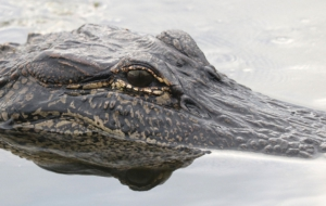 Alligator HD