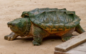 Alligator Snapping Turtle Images
