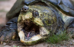 Alligator Snapping Turtle Photos