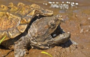 Alligator Snapping Turtle Pictures