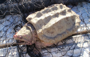 Alligator Snapping Turtle Wallpapers