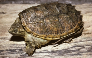 Alligator Snapping Turtle Widescreen