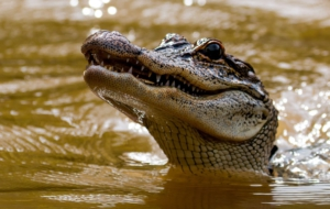 Alligator Full HD