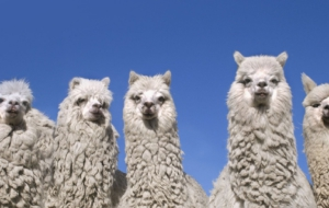 Alpaca Wallpapers HD