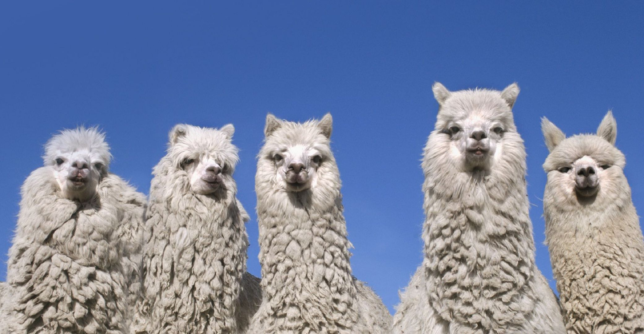 Alpaca Wallpapers Backgrounds