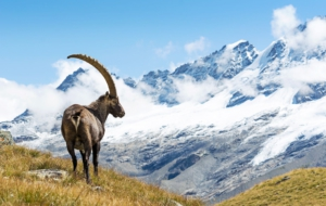 Alpine Ibex Computer Wallpaper