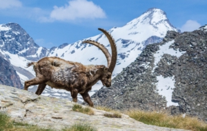 Alpine Ibex HD Wallpaper
