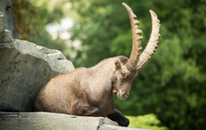 Alpine Ibex High Quality Wallpapers