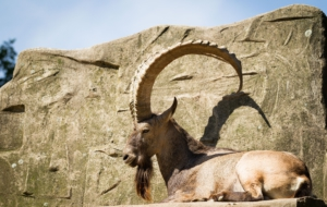 Alpine Ibex Photos