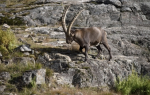 Alpine Ibex For Desktop